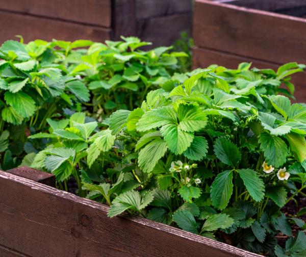 Raised Garden Beds are a great solution for a backyard garden.