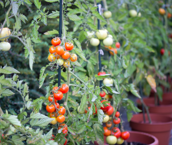 Tomato Plants in pots in a backyard garden