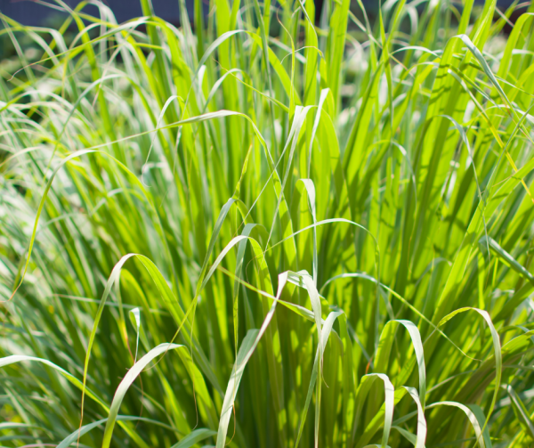 Lemongrass in a backyard garden deters pests.