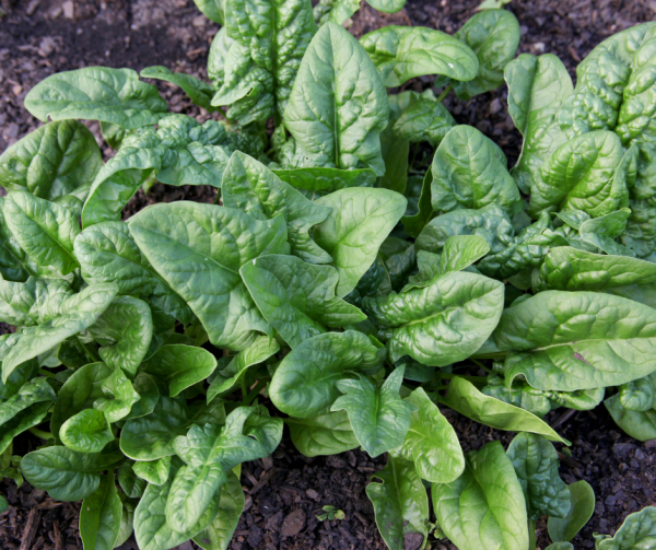 Spinach is always involved when planning a backyard garden.